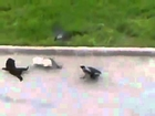 One Cat VS 2 Crows and One Cat ! Epic Fight !